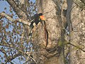 Bird Great Hornbill Buceros bicornis at nest DSCN9018 04.jpg