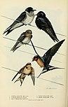 Bird lore (1917) (19761337804).jpg