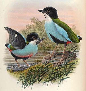 Azure-breasted pitta species of bird