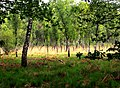 Birkenwaldabschnitt in der Wahner Heide.jpg