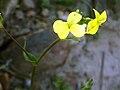 Biscutella auriculata FlowersCloseup 2009Mach19 DehesaBoyaldePuertollano.jpg