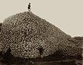Bison skull pile sepia.jpg