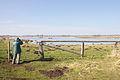 Blässgänse im Naturschutzgebiet Meerbruchwiesen am Steinhuder Meer IMG 1538.jpg