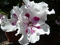 Blütentraum - panoramio (2).jpg