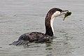 Black-faced Cormorant (26180309556).jpg