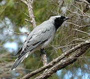 Black-faced Cuckoo-shrike westend apr05