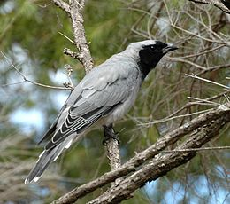 Black-faced Cuckoo-shrike westend apr05