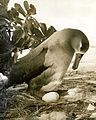 Black-footed albatross with egg, Midway Island, circa 1961-1973. (5988083238).jpg