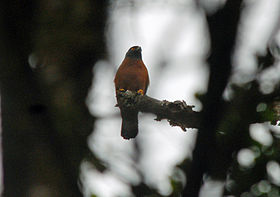 Black-mantled Goshawk, Ambua Lodge, PNG (6089917878).jpg