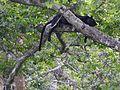 Black Panther taking a break.jpg