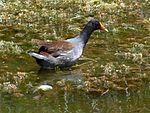 Black Point Wildlife Drive, Merritt Island FL - Flickr - Rusty Clark (231).jpg