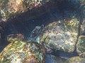 Black Reef Leatherjacket at Cabbage Tree Bay.jpg