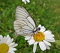 Black Veined White. Aporia crataegi (44910613361).jpg
