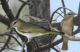 Black Whiskered Vireo From The Crossley ID Guide Eastern Birds.jpg