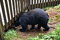 Black bear at Anan Wildlife Observatory 4.jpg