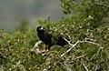 Black eagle 8.jpg