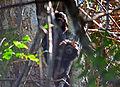 Black lion tamarin Pontal do Paranapanema 6.jpg