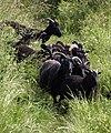 Black sheep, South West Coast Path - geograph.org.uk - 850860.jpg