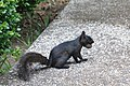 Black squirrel carrying a walnut in its mouth.jpg