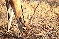 Blackbuck in artificial habitat.jpg