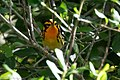 Blackburnian Warbler (male) Anahuac NWR-Jackson Prairie Woodlot TX 2018-04-24 15-37-53 (40249806570).jpg
