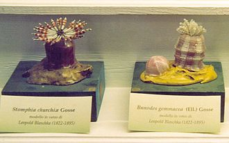 Ludwig Reichenbach - Blaschka model of sea anemones