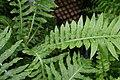 Blechnum gibbum 3zz.jpg
