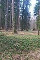 Bledule jarní v PR Králova zahrada 22.jpg