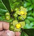 Blepharistemma serratum fruits 02.JPG