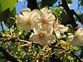 Blossom, Courtenay Park - geograph.org.uk - 788881.jpg