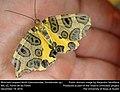 Blotched Leopard Moth (Geometridae, Pantherodes sp.) (31574620940).jpg