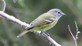 Blue-headed Vireo (8088894912).jpg