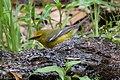 Blue-winged Warbler (male) Sabine Woods TX 2018-04-21 12-22-24 (28100390978).jpg