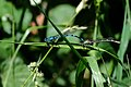 Blue Damselflies begin mating wheel.jpg