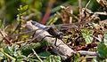 Blue Dragonfly 2 (7622681074).jpg