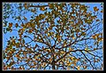 Blue Sky and Yellow Leaves-1 (6288253758).jpg