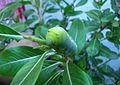 Blue eyed Caterpillar.jpg