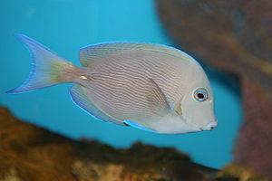 National Aquarium in Washington, D.C. - Image: Blue tang surgeonfish (Acanthurus coeruleus)