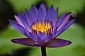 Blue water lilly flower.jpg