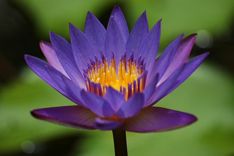 படிமம்:Blue water lilly flower.jpg