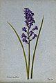 Bluebell (Hyacinthoides non-scripta); flowering stem. Waterc Wellcome V0043257ER.jpg