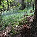 Bluebell woodland walk near Lee.jpg