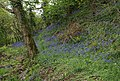 Bluebells, Avon valley - geograph.org.uk - 1294245.jpg