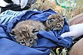 Bobcat kittens B326 and B327 (17234549122).jpg