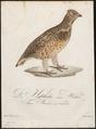 Bonasa betulina - 1800-1812 - Print - Iconographia Zoologica - Special Collections University of Amsterdam - UBA01 IZ17100385.tif