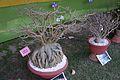 Bonsai - Agri-Horticultural Society of India - Alipore - Kolkata 2013-02-10 4629.JPG