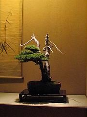 Bonsai IMG 6420.jpg
