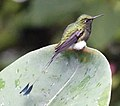 Booted racket-tail (32885150447).jpg