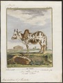 Bos indicus - 1700-1880 - Print - Iconographia Zoologica - Special Collections University of Amsterdam - UBA01 IZ21200145.tif