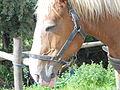 Bréca, cheval.JPG